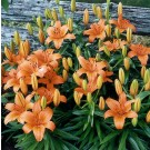 Brunello Asiatic Lily