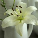 Navona Asiatic Lily