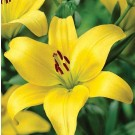 Gironde Asiatic Lily