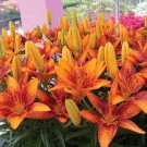 Tiny Orange Sensation Asiatic Patio Lily