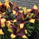 Tiny Epic Asiatic Patio Lily