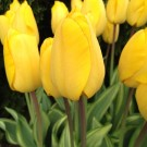 Yellow Wave Collector Series Tulip