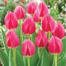 Rosy Delight Series Tulip