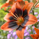 Easy Salsa Asiatic Kiss Lily