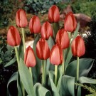 Red Impression Darwin Hybrid Tulip