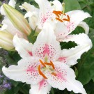 Muscadet Oriental Lily