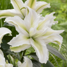 Roselily Annika Double Oriental Lily