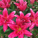 Roselily Elena Oriental Double Lily