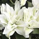 Roselily Mara Oriental Double Lily