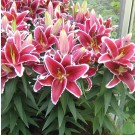 Starlight Express Oriental Patio Lily