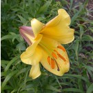 Golden Splendour Trumpet Lily