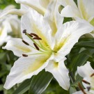 Budlight Oriental Trumpet Lily
