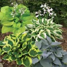 Sea of Green Hosta Mix