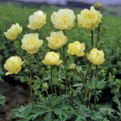 Trollius 'New Moon'
