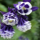 Aquilegia vulgaris 'Winky Double Dark Blue & White'