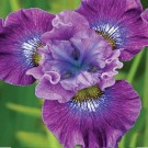 Iris siberica 'Strawberry Fair'