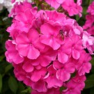 Phlox paniculata 'Early Start Velvet'