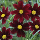 Coreopsis Li'l Bang 'Red Elf'