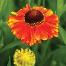 Helenium 'Sahin's Early'