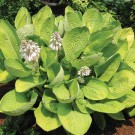 Hosta 'World Cup'