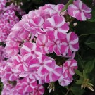 Phlox paniculata 'Candy Crush'