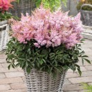 Astilbe 'Sugarberry' Short n Sweet
