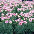 Dianthus Scent First 'Raspberry Surprise'
