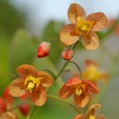 Epimedium pubigerum 'Orange Queen'