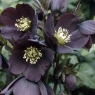 Helleborus orientalis 'Black Magic'