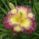 Hemerocallis 'Cheese and Wine'