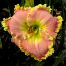 Hemerocallis 'Princess Diana'