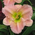 Hemerocallis 'Barbara Mitchell'