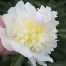 Paeonia 'Top Brass'