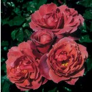 Hot Cocoa Weeks Floribunda Rose