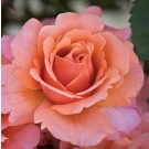 Easy Does It Weeks Floribunda Rose