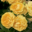 Julia Child Weeks Floribunda Rose
