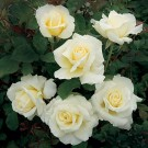 White Licorice Weeks Floribunda Rose