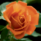 Pumpkin Patch Weeks Floribunda Rose