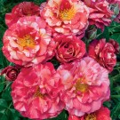 Frida Kahlo Weeks Floribunda Rose