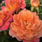 Rosie the Riveter Weeks Floribunda Rose