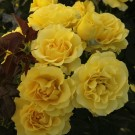 Sparkle & Shine Weeks Floribunda Rose