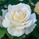 Easy Spirit Weeks Floribunda Rose