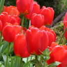 Skyhigh Scarlet Single Late Tulip