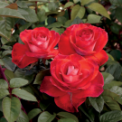 Smokin' Hot Weeks Hybrid Tea Rose