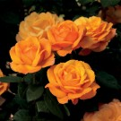 Good as Gold Weeks Hybrid Tea Rose