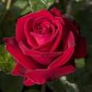 Ingrid Bergman Weeks Hybrid Tea Rose