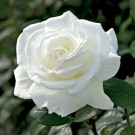 Sugar Moon Weeks Hybrid Tea Rose