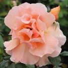 Just Joey Weeks Hybrid Tea Rose