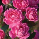 Pink Double Knockout Weeks Shrub Rose