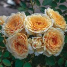 Edith's Darling Weeks Shrub Rose